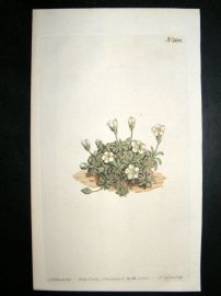 Curtis 1808 Hand Coloured Botanical Print. Northern Diapensia #1108